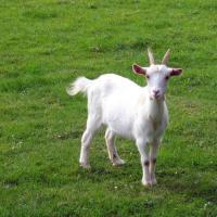 La capra mancata