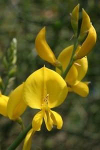 La ginestra, il fiore cantato da Leopardi che cresce sulle pendici del Vesuvio