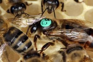Le api si riproducono tramite partenogenesi facoltativa