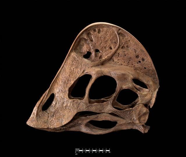 Anzu Wyliei, ricostruzione del cranio