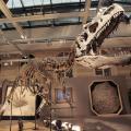 Allosaurus: lo scheletro