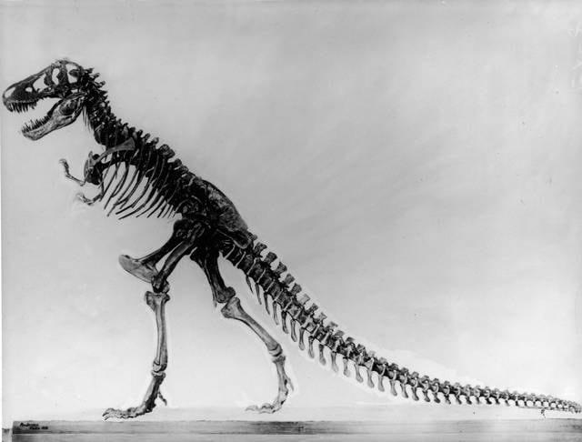 Scheletro di un tirannosauro