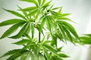 L'università californiana della marijuana