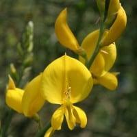 La ginestra, o il fiore del deserto