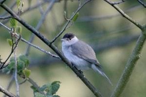 Fotografia di una capinera, l'uccellino che ha dato lo spunto a Verga per il romanzo.