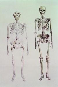 Disegno di scheletri di Australopithecus Boisei (a sinistra) e Homo Sapiens (a destra)