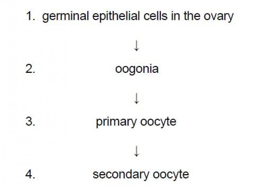 The pathway shows some of the cells produced during oogenesis in the ovary of a healthy human female. Which of the following cells in the pathway are diploid?