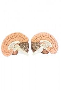 """Sezione dei due emisferi del cervello: si vede chiaramente di quanti """"strati"""" sia composto il cervello umano"""