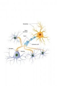 Struttura di un neurone: ecco come gli impulsi si trasmettono all'interno del cervello umano
