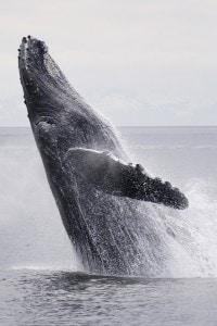 La figura di Moby Dick per Achab è un'ossessione che lo priva della ragione. Achab trova in questo un suo corrispettivo in Don Chisciotte.