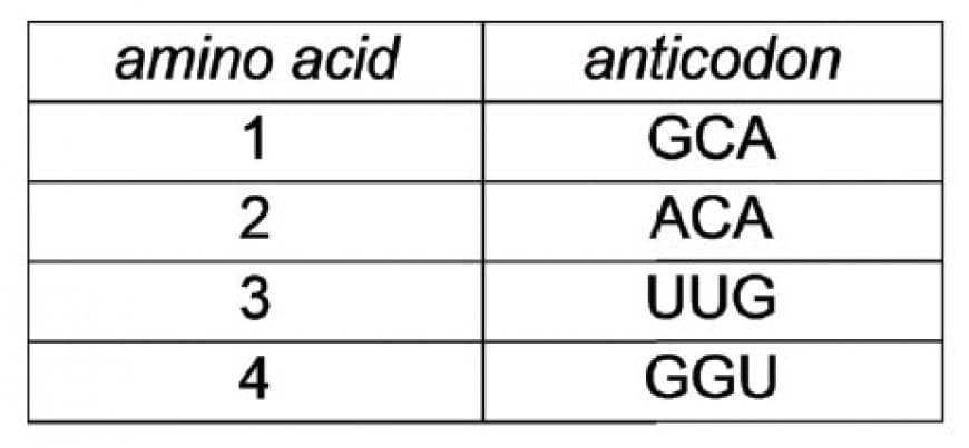 Part of a polypeptide sequence consists of four amino acids -1-2-3-4-. Which one of the following is the correct sequence, in a 3′ to 5′ direction, for the bases on the template strand of the DNA?