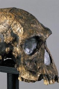 Ricostruzione di un teschio di Homo habilis del Kenya