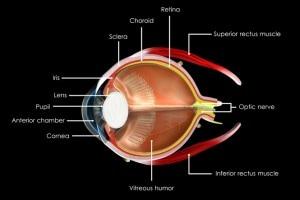 Parti dell'occhio umano