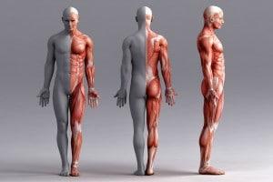Cos'è il tessuto muscolare?