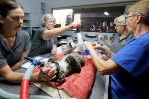 Alcuni volontari curano un koala salvato dalle fiamme