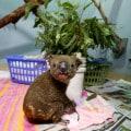 Un koala messo in salvo