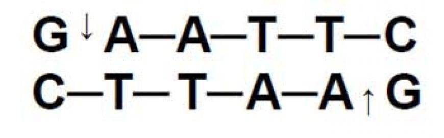 Gli enzimi di restrizione ricavati da batteri sono utilizzati nelle tecniche di DNA ricombinante. L'enzima EcoRI taglia il DNA nella sequenza