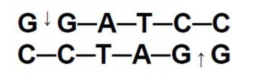Gli enzimi di restrizione ricavati da batteri sono utilizzati nelle tecniche di DNA ricombinante. L'enzima BamHI taglia il DNA nella sequenza