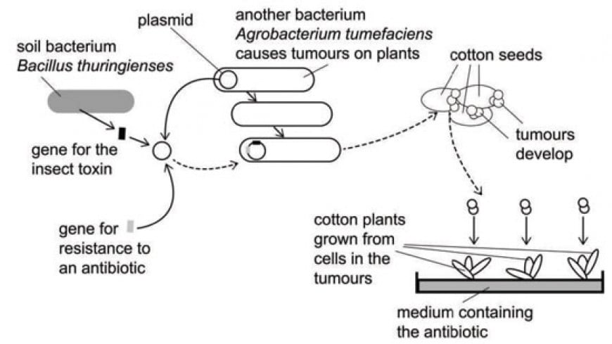 The diagram shows how recombinant DNA can be used to make cotton plants produce an insect toxin. The insect toxin kills any insect that can damage the cotton crop. What are the TWO functions of the Agrobacterium tumefaciens bacteria in this process?