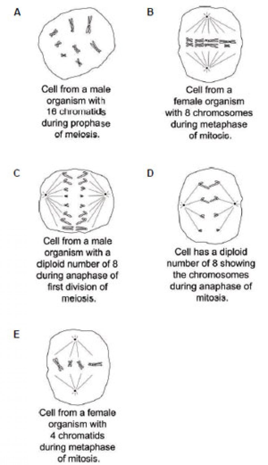The diagrams show animal cells from organisms that sexually reproduce. Each diagram shows a single cell containing chromosomes during cell division. Which one of the following diagrams has a correct description for a cell from an organism with a haploid number of 4? [Assume that the sex of the organism is inherited in the same way as in humans.]