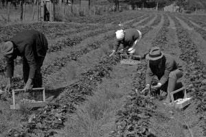 Immigrati che raccolgono bacche in un campo a Hammond, Stato della Louisiana (New York)