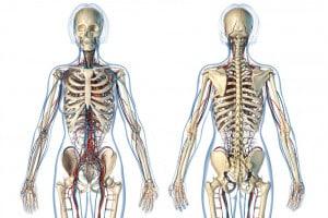 Il sistema scheletrico, riassunto