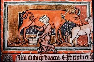 Una contadina medievale mentre munge una mucca. Illustrazione del XIII secolo