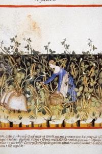 Contadina che raccoglie fagiolini in una miniatura medievale